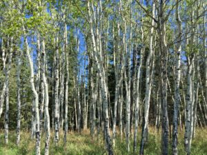 The Aspens along the Millburn ninth fairway